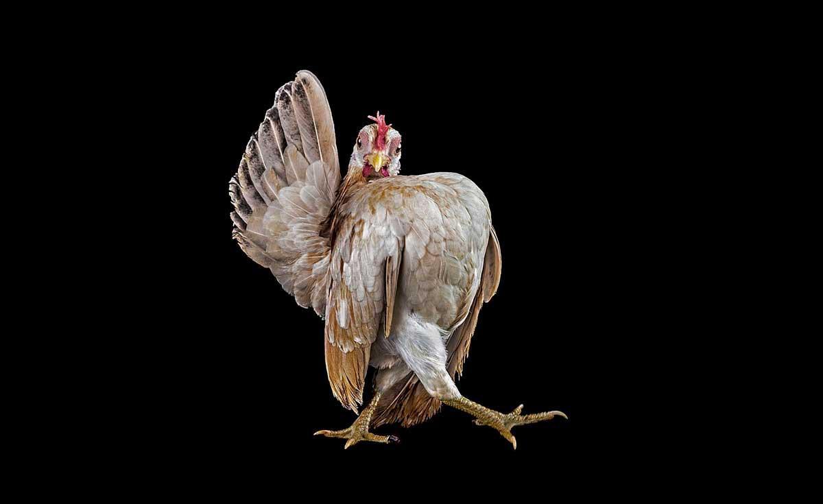 Bizarro concurso de beleza para frangos