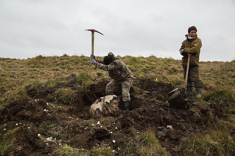 Dois homens cavam para retirar um crânio de mamute encontrado.