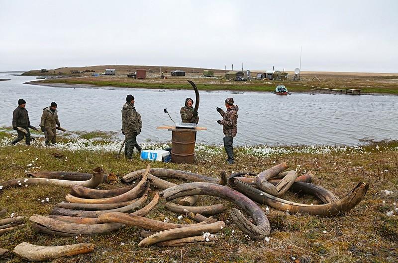 Às margens do lago Bustakh, caçadores pesam e medem as presas; na vila de Kazachye, elas são vendidas por entre US$ 50 e 250 a libra (0,45 kg)