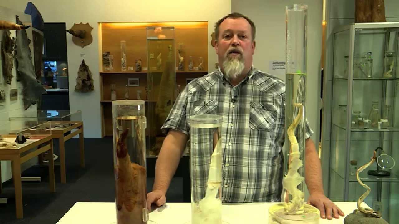 A maior coleção de pênis do mundo