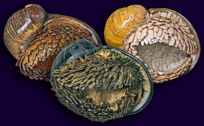 Credito foto: http://en.wikipedia.org/wiki/File:Three_populations_of_Chrysomallon_squamiferum.jpg