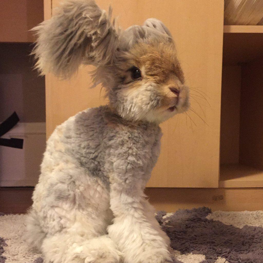 Wally, o coelho com orelhas que se parecem com asas