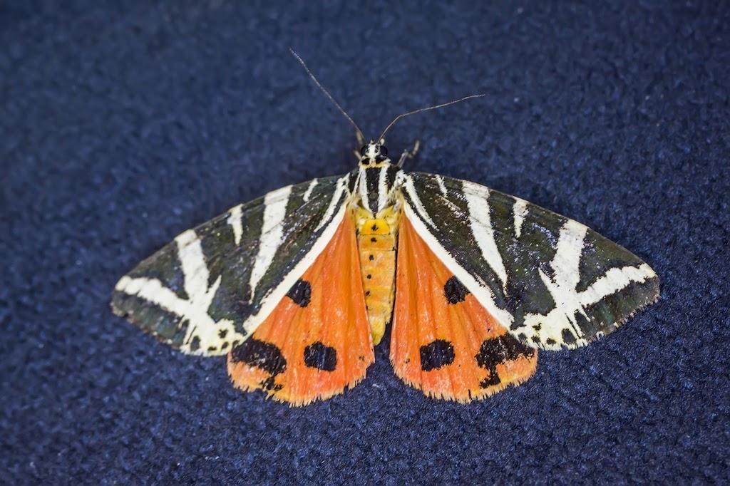 Callimorpha-quadripunctaria_001