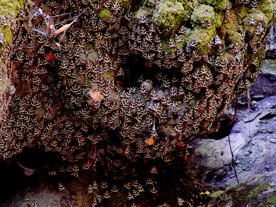 Callimorpha-quadripunctaria_004