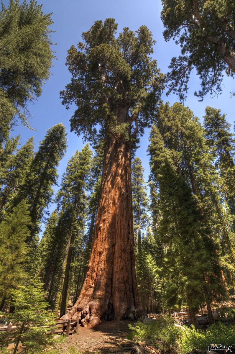 biggest-tree-in-the-world-general-sherman