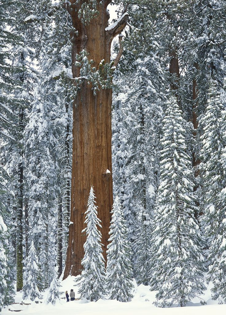 biggest-tree-in-the-world-general-sherman2