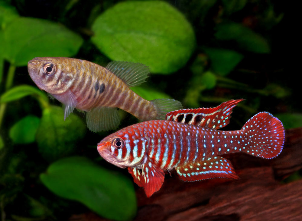 killifishes_003