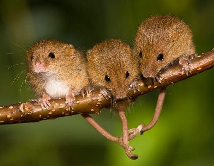 rato-de-colheita_001