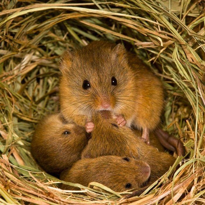 rato-de-colheita_002