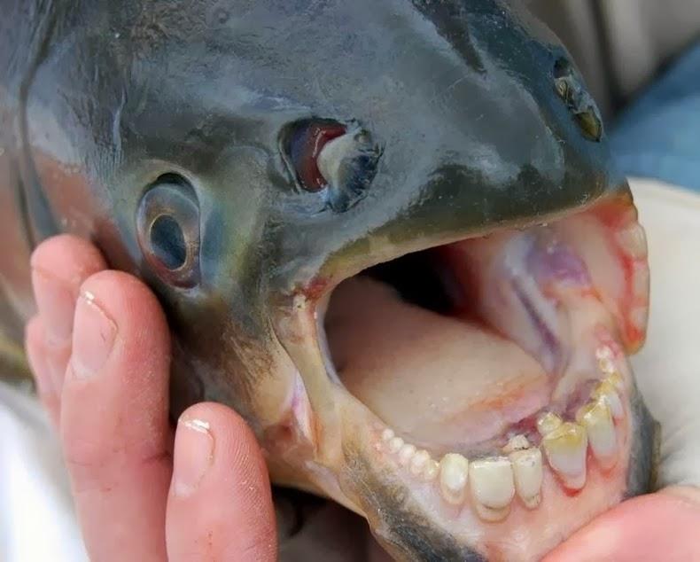 pacu-fish_001