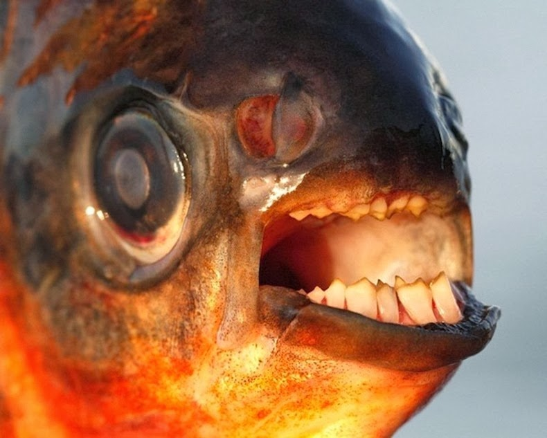 pacu-fish_004